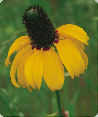 Clasping Coneflower Seeds - Hardy Perennial - Flowering Heirloom - 50 Seeds