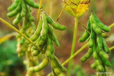 Bean Seeds - SOYBEAN - Very Easy to Grow - Nutritious - 50 Organic Seeds