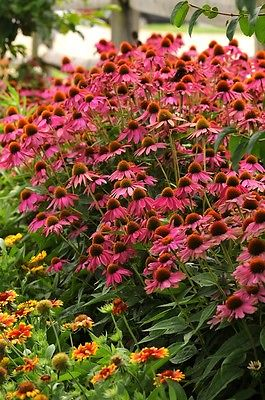 Echinacea Seeds - POW WOW - MEDICINAL CULINARY HERB - Perennial - 10 Seeds