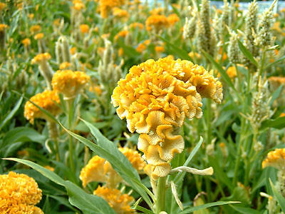 Cockscomb Seeds - BOMBAY YELLOW - Celosia -Heat Tolerant, Sun Loving- 10 Seeds