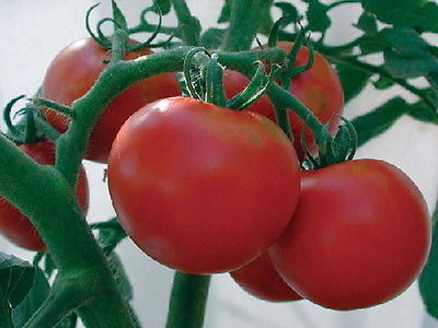 Tomato Seeds - RUTGERS - Popular Variety - Heirloom - theseedhouse - 25 Seeds