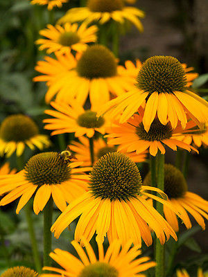 Echinacea Purpurea Seeds -  NOW CHEESIER CONEFLOWER - Deer Resistant - 15 Seeds