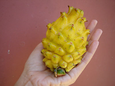 Yellow Dragon Fruit Seeds - MEDICINAL BENEFITS - Cactus Bearing Fruit - 50 Seeds