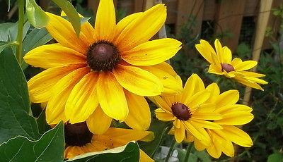 Rudbeckia Hirta Seeds - INDIAN SUMMER - Flowering Heirloom - Canada - 50+ Seeds