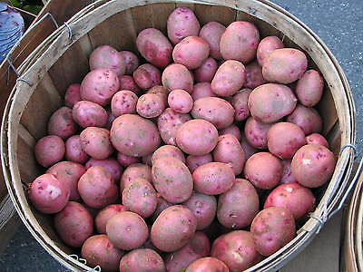 Potato Seed - MOZART - Excellent Table Quality Potato - ORGANIC - 20 Tubers