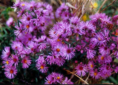 New England Aster Seeds ~ Butterfly Garden ~ Perennial ~ theseedhouse ~ 50 Seeds