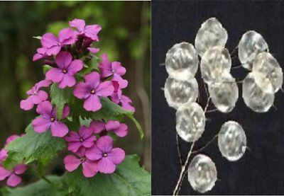 Silver Dollar Plant Seeds - Lunaria Biennis - Unusual - theseedhouse - 20 Seeds