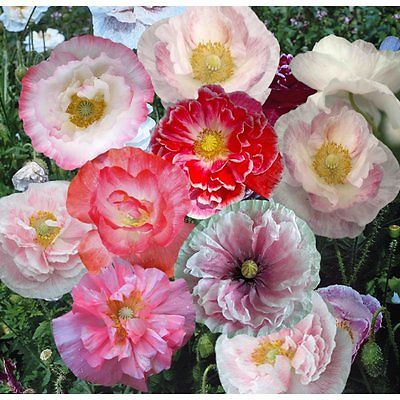 Poppy Seeds - SHIRLEY DOUBLE - Pinks, Scarlet, Rose and Salmon - 50+ Fresh Seeds