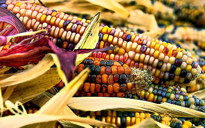 Corn Seeds - Harvest Crafts - Easy to Dry and Store - theseedhouse - 50 Seeds