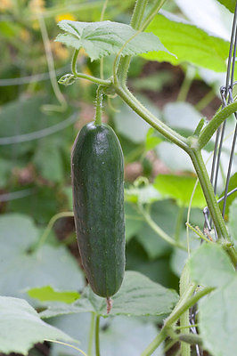 Cucumber Seeds - DARLING - Excellent Dark Green Color - Heirloom - 50+ Seeds