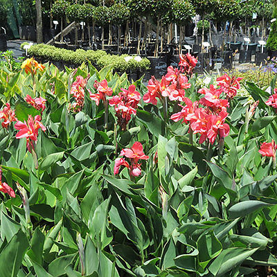 Canna Lily Bulb - PEACHY PINK - Deep Green Foliage - Exotic Blooms - 1 Bulb