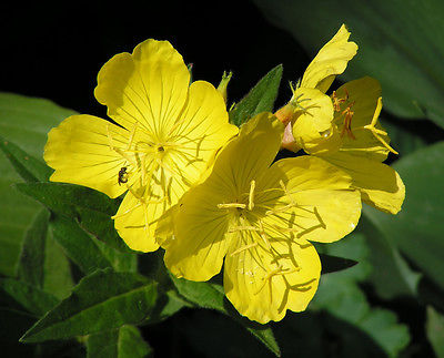 Evening Primrose Seeds - Brilliant Yellow Blooms - Canadian Heirloom - 100 Seeds