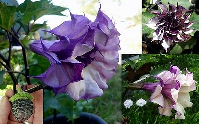 Datura Metel Seeds - DOUBLE PURPLE BLACKBERRY - Annual Beauty - 10 Seeds