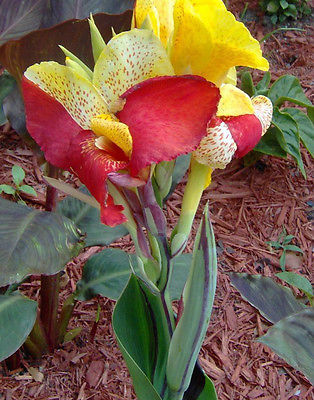 Canna Lily Bulb - CLEOPATRA - Cannaceae - Great Potted Plant - 1 Bulb / Rhizome