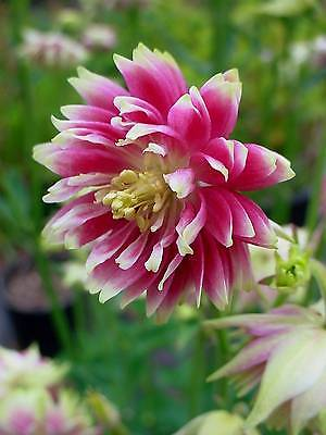 Columbine Seeds - NORA BARLOW -Heirloom- Shade Perennial -theseedhouse-10+ Seeds