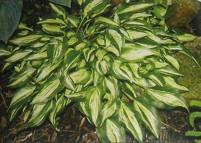 Hosta Plant - DIXIE CHICKADEE - Miniature Hosta - Shade Perennial - 2 Shoots