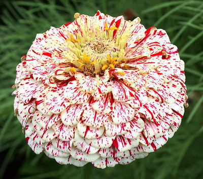 Zinnia Seeds - CANDY CANE VARIETY - Deer Resistant - Drought Tolerant- 25+ Seeds