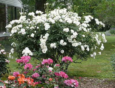 Climbing Rose Seeds - WHITE ICEBERG - Winter Hardy - theseedhouse - 10+ Seeds