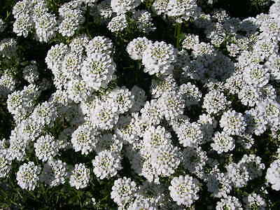 Snowflake Iberis Seeds - Evergreen Perennial - Drought Tolerant Plant - 10 Seeds
