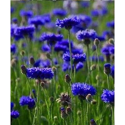 Bachelor Button Seeds - BLUE BOY - Blue Thistle Like Blooms - CANADA - 25 Seeds