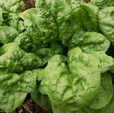 Spinach Seeds - BLOOMSDALE - Excellent Flavor -High Yielding Vegetable-100 Seeds