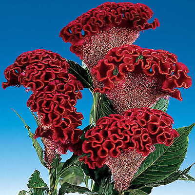 Cockscomb Seeds - BOMBAY DARK RED - Celosia -Heat Tolerant, Sun Loving- 50 Seeds