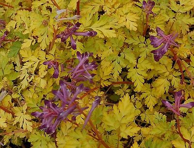 Corydalis Seeds - BERRY EXCITING - Shade Perennial - UNIQUE, RARE - 10 Seeds