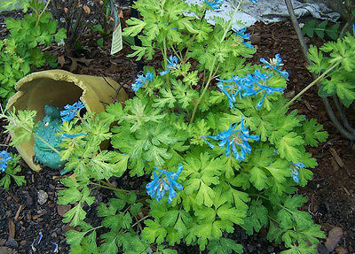 Corydalis Flexuosa Seeds -GOLDEN PANDA- Unique Shade Perennial - RARE - 10 Seeds