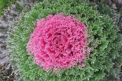 Flowering Kale - GLAMOUR RED F1 - Very Easy to Grow - 25 Untreated Seeds