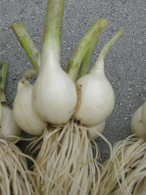 Potato Onions - WHITE Multiplier Onion - Winter Survivor - Mild Taste - 20 Bulbs