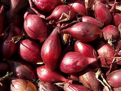 Potato Onions - RED - Multiplier Onion - Winter Surviver - Mild Taste - 20 Bulbs