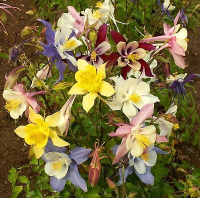 Columbine Seeds - GIANT MIX - Origami - Variety - Shade Perennial - 50+ Seeds