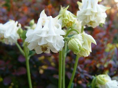 Columbine Seeds - AQUILEGIA WHITE TOWER - Shade Perennial - 10+ Fresh Seeds