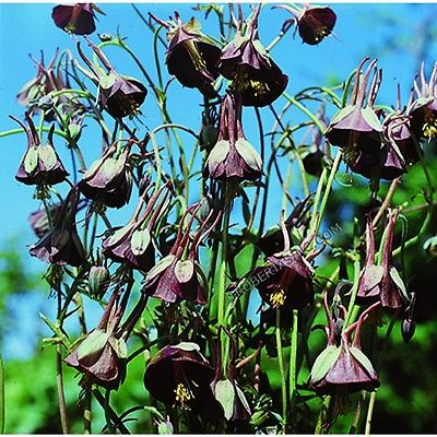 Columbine Seeds - CHOCOLATE SOLDIER - Winter Hardy Heirloom - 40 Seeds