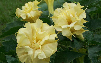 Datura Metel  Seeds - TRIPLE YELLOW - Annual - Tropical Plant- 20 Seeds