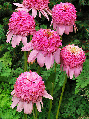 Echinacea Purpurea Seeds -  SWEET ROMANCE CONEFLOWER - Deer Resistant - 15 Seeds