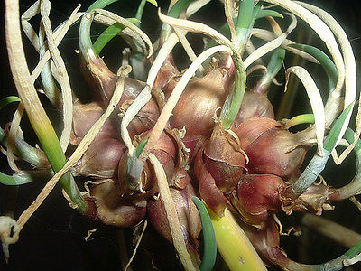 Heirloom Egyptian Walking Onions - Prolific Reproducers - NON GMO - 20 Bulbils