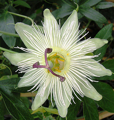 Passiflora Seeds - CONSTANCE ELLIOT - Climbing Vine - FRAGRANT BLOOMS - 10 Seeds