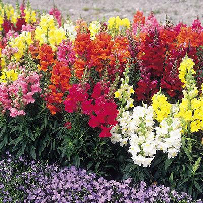 Snapdragon Seeds - ROCKET BLEND - Tall Hybrid -Reseeds-theseedhouse- 50+ Seeds