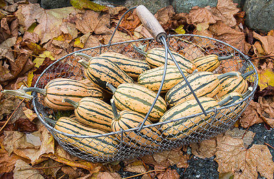 Honeyboat Delicata Winter Squash Seeds ★ GMO FREE ★ Stores Well ★ 20 Seeds