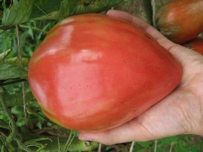 Tomato Seeds - RED OXHEART - Large 1 lb. Heart Shaped Tomatoes-10 Heirloom Seeds