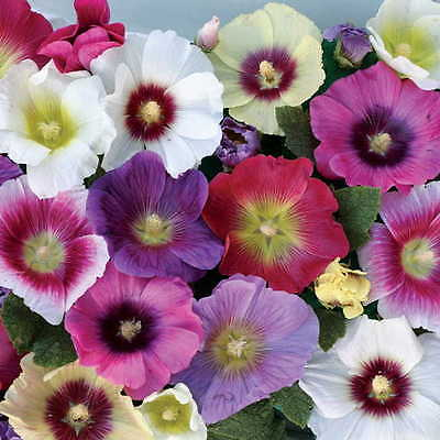 Alcea Rosea Seeds - HALO MIX - Hollyhock - Long Lasting Flowers - 25 Seeds