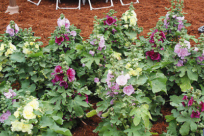 Hollyhock Seeds - SPRING CELEBRITIES - Dwarf Alcea Rosea Variety - 25 Seeds
