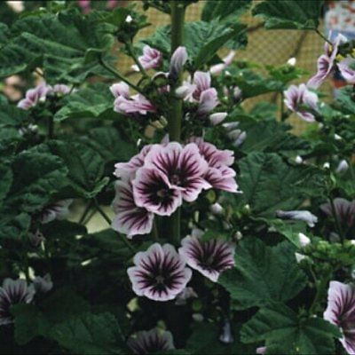 Hollyhock Seeds - FRENCH ZEBRINA - Heirloom - Winter Hardy Perennial - 50 Seeds