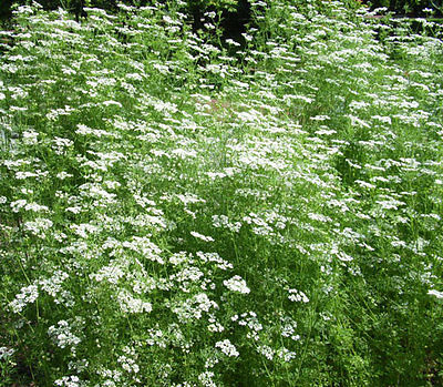 Anise (Pimpinella Anisum) - Sweet Licorice Like Flavor - 100+ Heirloom Seeds