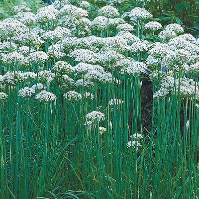Garlic Chives (Allium tuberosum) ~Strong Garlic Flavor ~ theseedhouse ~100 Seeds