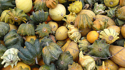 Gourd Seeds - GALAXY OF STARS - Small Hybrid Gourd - GMO FREE - 10 Seeds