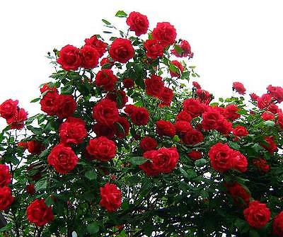 Climbing Rose Seeds - ROSA CRIMSON CASCADE -  theseedhouse - 10+ Seeds