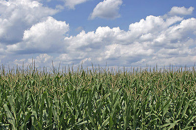 Canadian Field Corn - Silage - Livestock Feed - NON GMO - 5 lb. Organic Seeds