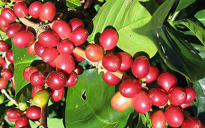 Coffee Plant Seeds - JAVA ESTATE - GMO FREE - Tropical Plant Beans - 50+ Seeds